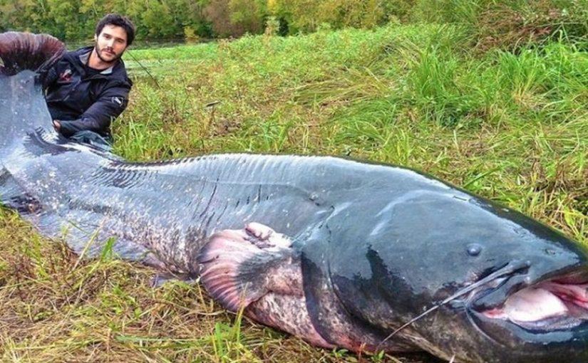 Сом – рыба-гигант!